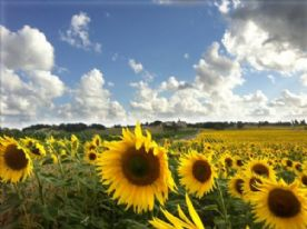 Charente sunflower fields