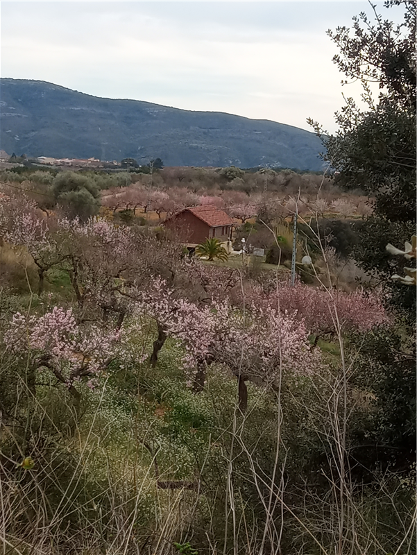 Spring almond blossem all around 2021