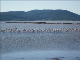 Flamingos on Tuzla lake.