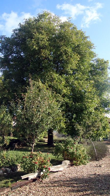 Our huge walnut tree
