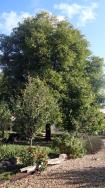 Our huge walnut tree