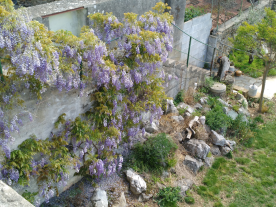 Wisteria blooming for the 4th time this year