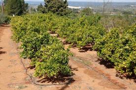 Top terrace orange grove