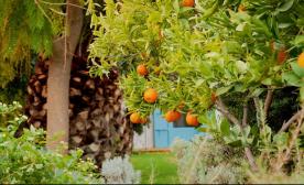 Mandarine tree.