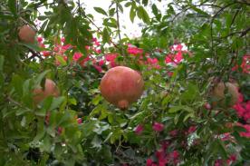 Pomegranates and bougainvilleas.