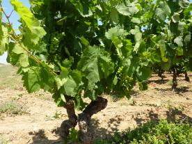 Vine harvesting