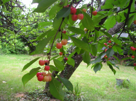 Cherries -- one of three varieties