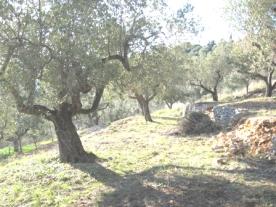 39 Olive trees