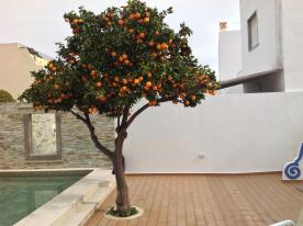Orange tree fruits twice yearly