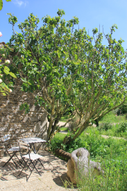 Fig tree shading eco lodge seating area