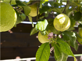 Fruit trees Balmoral Villa and 1 bedroomed Cottage.