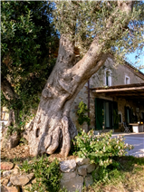 Capalia from behind the ancient olive tree