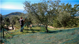 Picking olives in October, Capalia