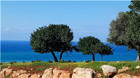 Olive trees near the property