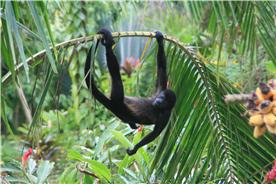 Local Howler monkeys