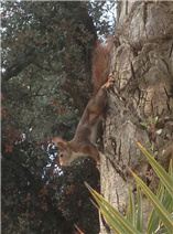 Red squirrels visit from the woods
