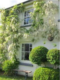 Mature Wisteria growing in the summer