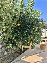 Mature Citrus Tree