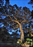 100 year old Pohutukawa Trees