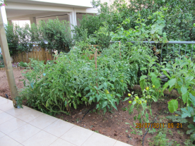 Tomatoes, peppers, egg plants and Courgette plants.