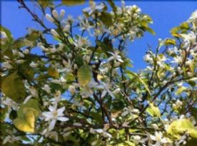 The scent of orange blossom fills the air in spring