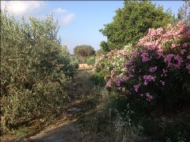 Olive trees and oleander