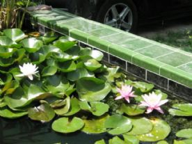 water lilies give shade to fish in the hot months.