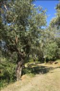 Private drive through olive grove