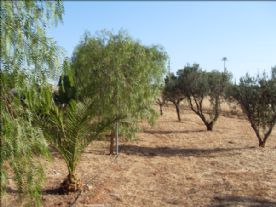 The Garden with Olive trees and figs