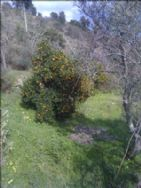 orange and olive trees on every terrace