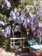 Magnificent Wisteria & the barbeque