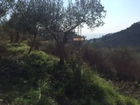 Mostly olive trees but mixture of fruit trees as well.
