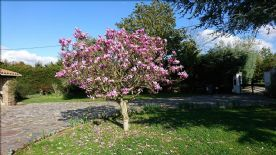 Magnolia Tree a spring treat along with over 2,000 daffodil and tulips
