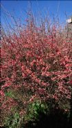 Chinese Quince in flower