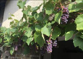 Delicious strawberry vine, unbelievable flavour